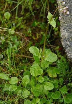 Valeriana Leaves