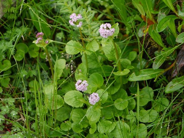 Photo of Tagara (Valeriana Wallichii): Benefits, Uses & Side Effect