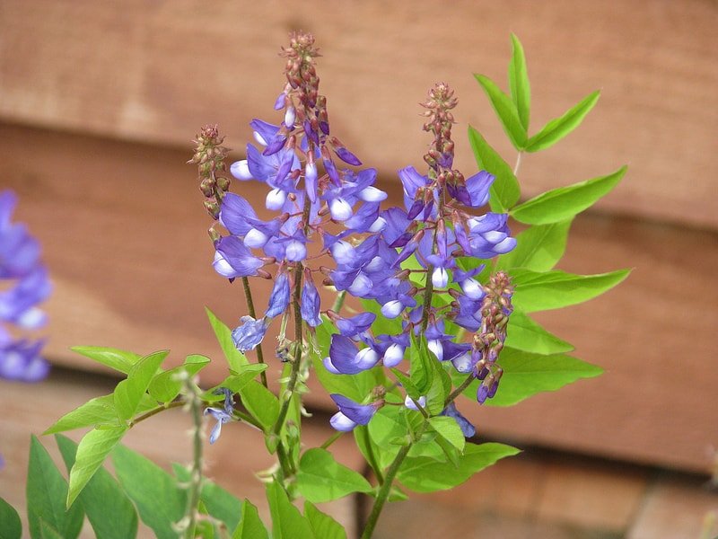Photo of Goat's Rue (Galega Officinalis) Benefits & Side Effects