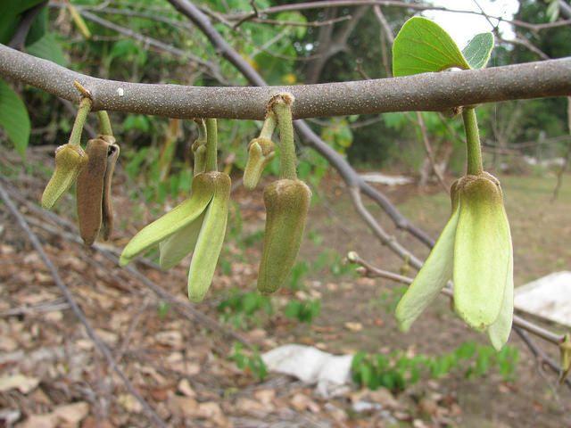 Cherimoya Flowers