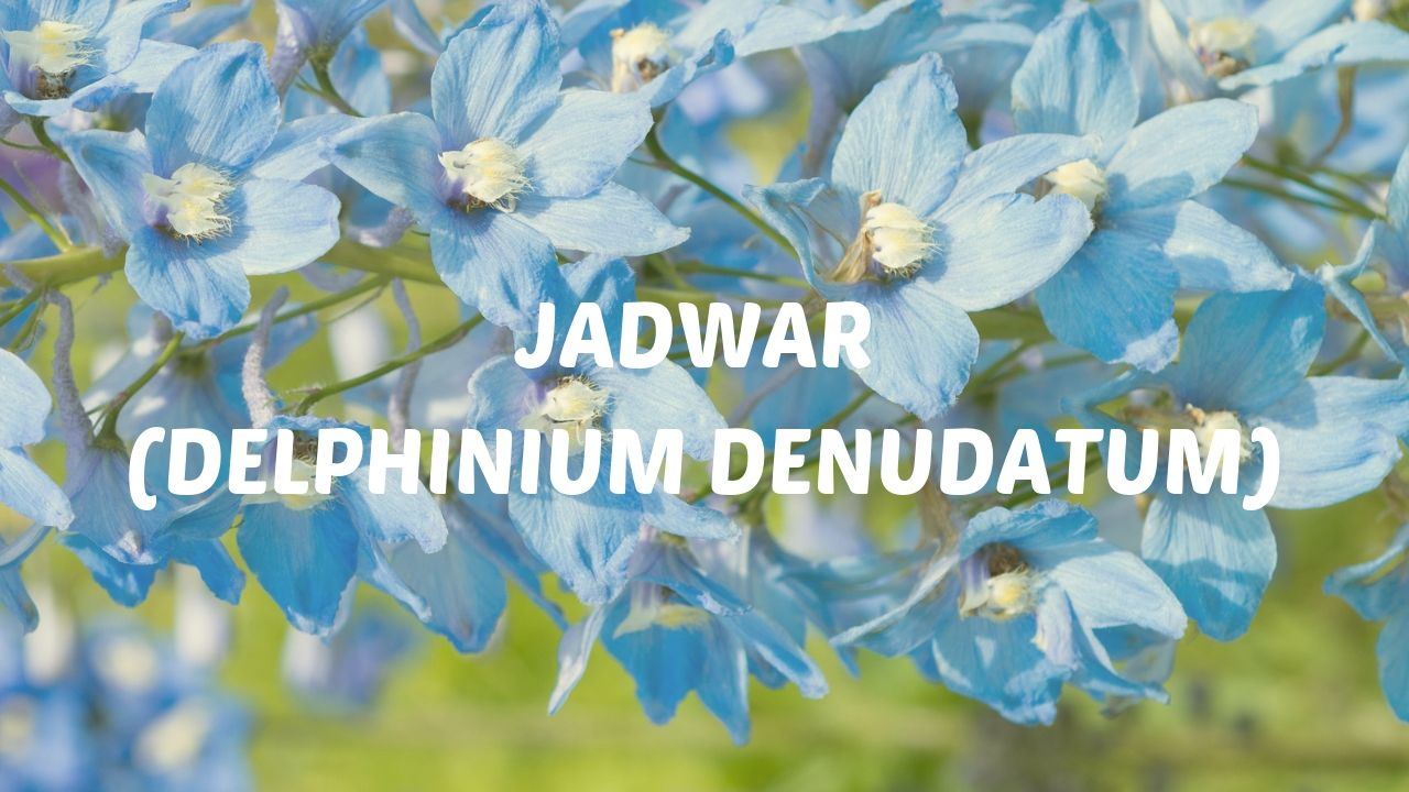 Photo of Jadwar (Delphinium denudatum) Indications, Dosage & Side effects