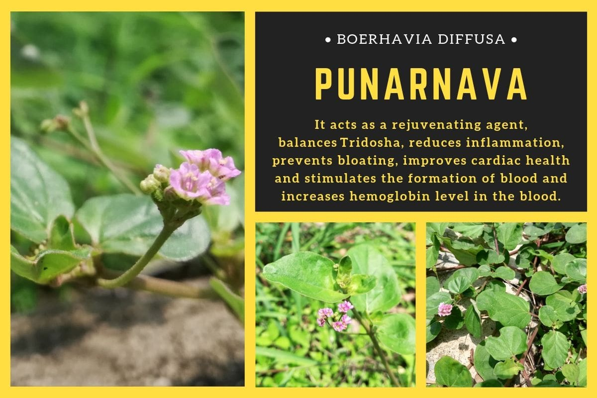 Punarnava Benefits and Uses