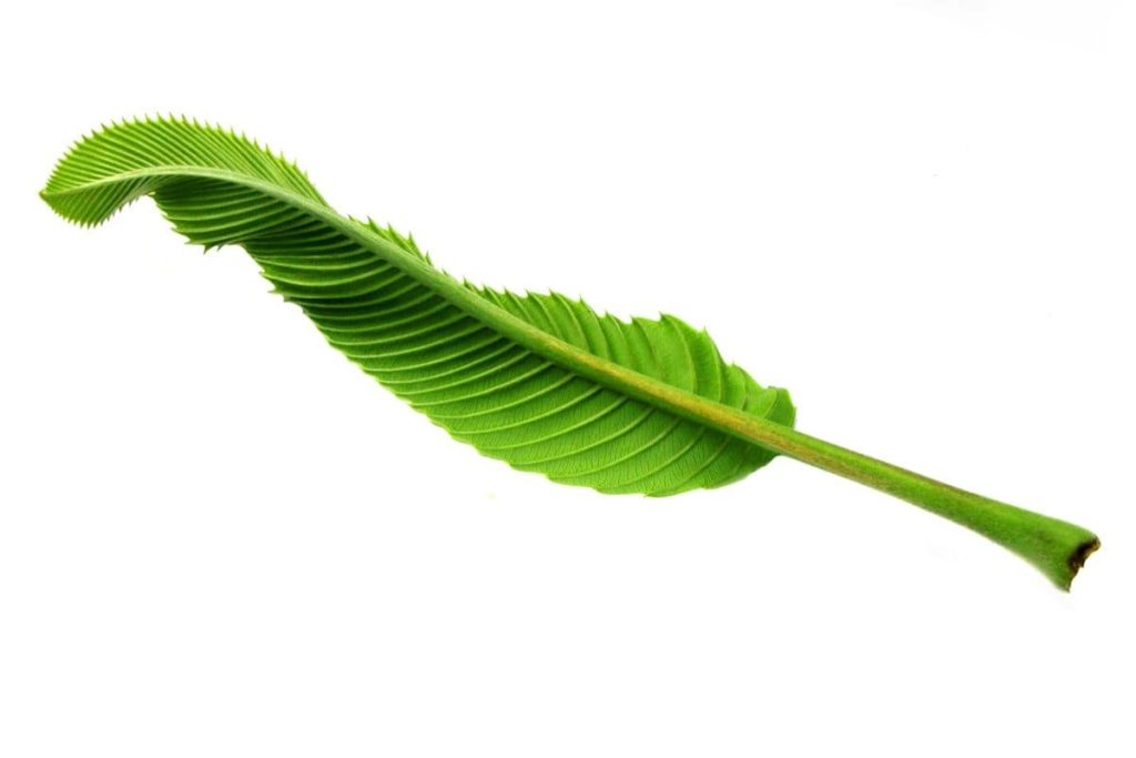 Elephant Apple Tree Leaf